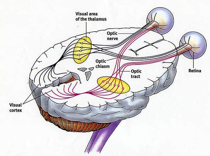 Image result for eyes to the occipital lobe