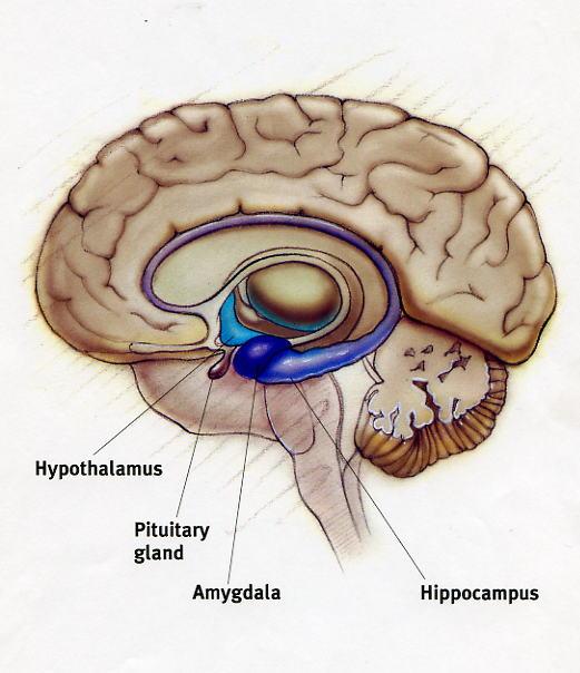 Limbic System by Taylor Gallman - Hook AP Psychology 4B